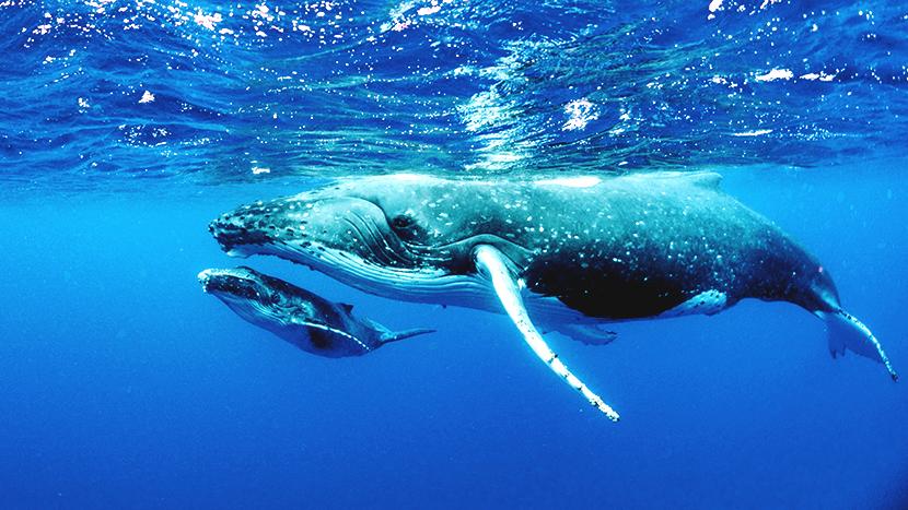 親子のクジラ