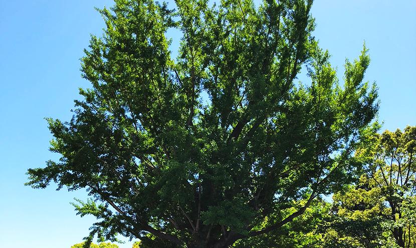 青空と巨木