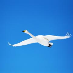 青空舞う白鳥