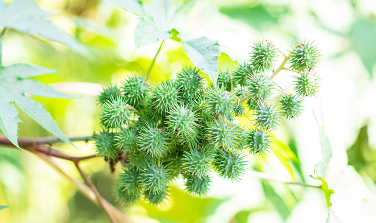 トウダイグサ科のトウゴマの種子