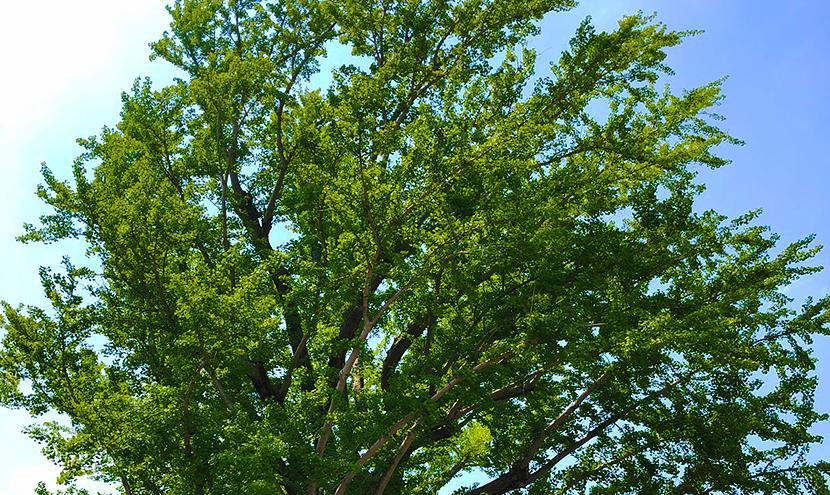 樹齢の大きい木