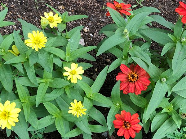 道端に咲く黄色と赤の花