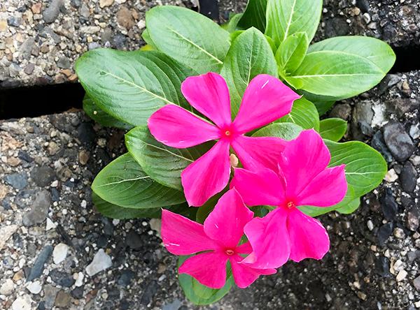 石の間から咲くピンク色の鮮やかな花