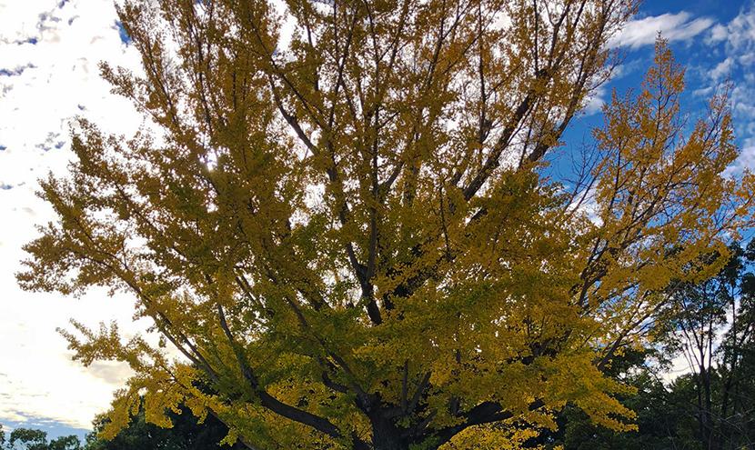 紅葉時期の巨木