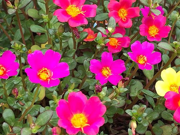 ピンクの鮮やかな花