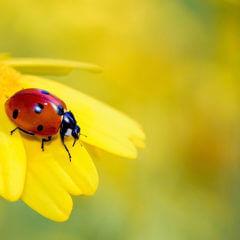 てんとう虫と黄色い花